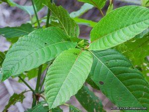 khasiat daun ketum